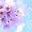 スケルト・エイト・バンビーノ サクラ咲ク