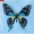 ポルノグラフィティ アゲハ蝶