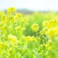 重松壮一郎 菜の花