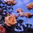 globe Perfume of love(Straight Run)