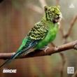 Dezo Birdie