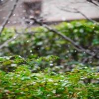 江戸桜 激しい雨