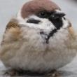 江戸桜 鳥の声