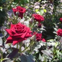 Zukkoke05 Rose