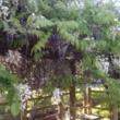 YUKIO 藤の花