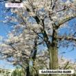 Gachagacha-band 明日の歌